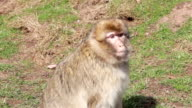 Monkey Walking and Chewing - Barbary Macaques of Algeria & Morocco video