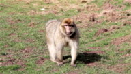 Monkey Walking Towards Camera - Barbary Macaques of Algeria & Morocco video