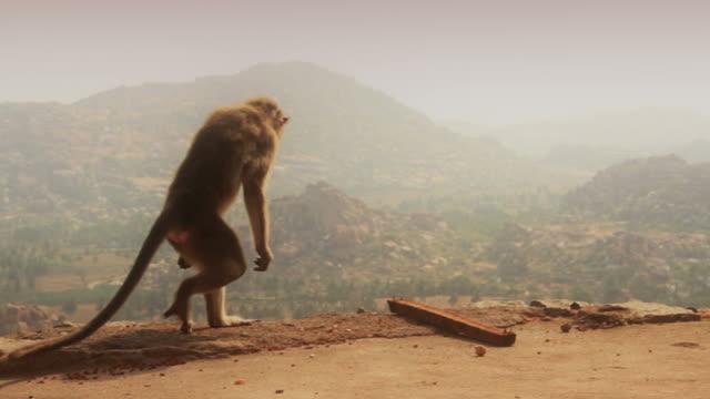 Monkey walks on two legs video