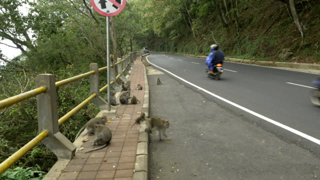 WS Monkeys At The Roadside video