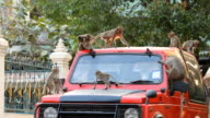 Monkeys on the car roof video