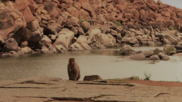 Monkeys sit in front of peaceful river. video