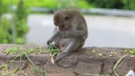 Monkeys (HD 1080) video