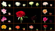 Montage opening and dying colorful roses wall alpha matte video