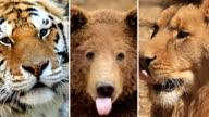 HD LOOP MONTAGE:Wildlife portraits video