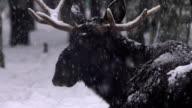 Moose (Elk) and winter video