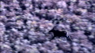 Moose On the Run  - Aerial View - Wyoming, Lincoln County, United States video