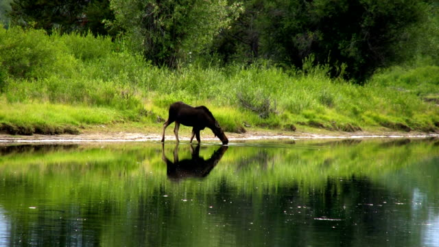 Moose wading in the water video