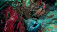 Moray Eel, small fishes and shrimps coexisting peacefully video