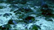 moray eel, swimming video
