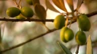 More green Olives video
