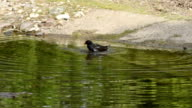 morning bath of a little black bird video