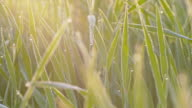 Morning dew on green wheat video