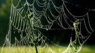 Morning dew on spiderweb with drops, closeup video