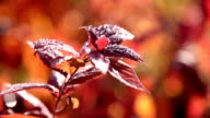 morning dew on the autumn foliage video