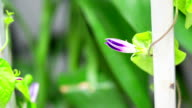 morning glory, flower blooming, time-lapse video