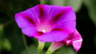 Morning Glory flower sways in the wind video
