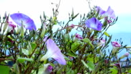 Morning glory flowers. video