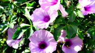Morning glory flowers video