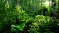 morning in a birch forest video