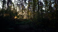 Morning in the pine forest. video