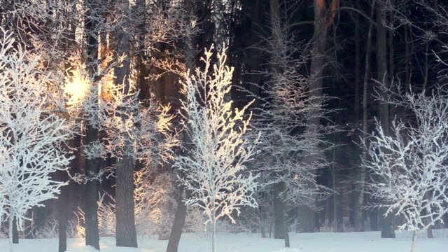 Morning in winter forest. Sunrise in winter forest. Trees covered with snow video