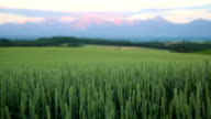 Morning mountain and wheat field video