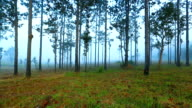 Morning on the pine tree with foggy video