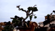 Morocco goats in an argan tree eating the argan nuts video