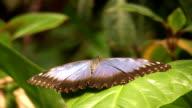 Morpho Butterfly (HD) video