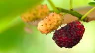 Morus alba fruits macro shots 4K video