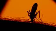 Mosquito blood sucking on human skin on sun background video
