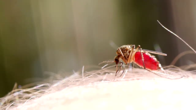 Mosquito blood sucking on human skin video