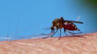 Mosquito blood sucking on human skin video