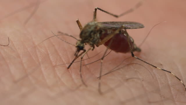 mosquito, close up, sucks blood video