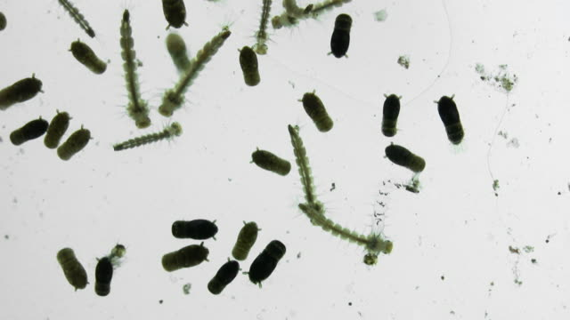 Mosquito Larva Close Up (HD) video
