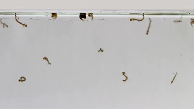 Mosquito larva while swimming video