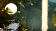 Mosquito larvae video