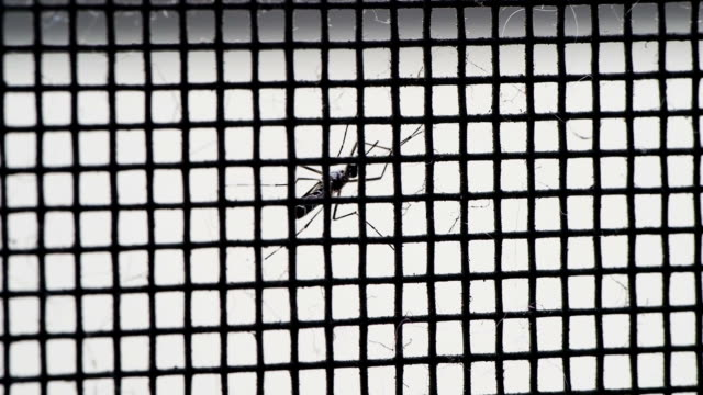Mosquito on net video