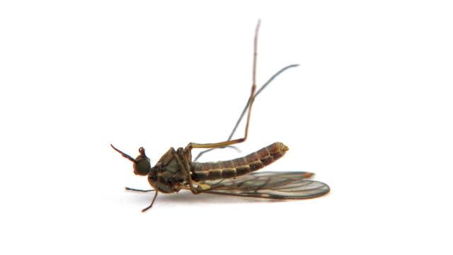 Mosquito video