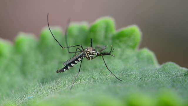 Mosquito. video