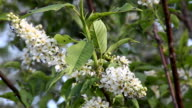 Mosquitoes on the branches of a bird cherry video