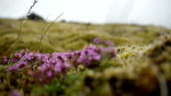 Moss and flowers on lava fields of Iceland video