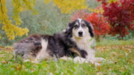 Most adult Shepherd is in autumn garden video