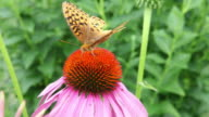 Moth Getting Nectar From Cone Flower video