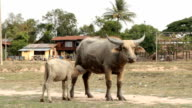 Mother and baby buffalo on rice fields. video