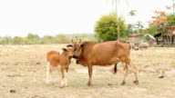 Mother and baby cow on rice fields. video