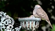 mother and baby dove video