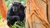 Mother and child chimpanzee video