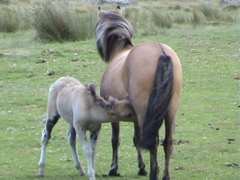 Mother and child pony in Dartmoor video